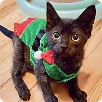 Domestic Shorthair Kitten for adoption in Long Beach, New York - Daisy