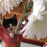 Adopt A Pet :: Catlyn Jenner - Staten Island, NY