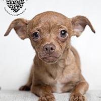 Adopt A Pet :: Bruiser - Inglewood, CA