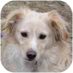 Spaniel (Unknown Type) Mix Dog for adoption in Eatontown, New Jersey - Sparkie