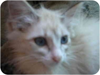 Ragdoll Kitten for adoption in Davis, California - Paisley