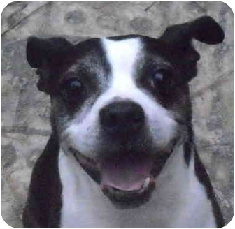 Boston Terrier Mix Dog for adoption in North Augusta, South Carolina - WAGNER