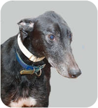 Greyhound Dog for adoption in Ware, Massachusetts - Bopper