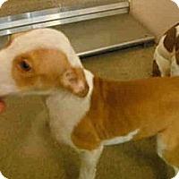 Adopt A Pet :: Coco - Seattle, WA