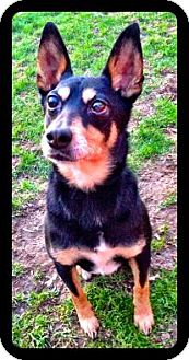 Manchester Terrier Mix Dog for adoption in Rochester/Buffalo, New York - Butchie