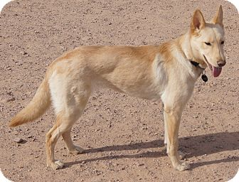 Australian Cattle Dog/Catahoula Leopard Dog Mix Dog for adoption in Apache Junction, Arizona - STAR