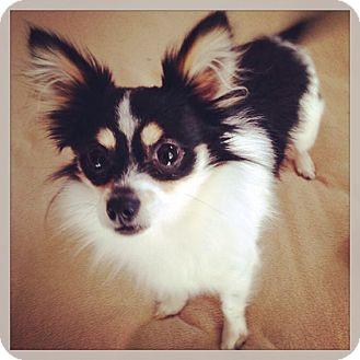 Chihuahua Dog for adoption in Grand Bay, Alabama - Chi Chi