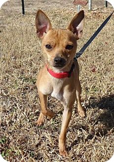 Chihuahua Mix Dog for adoption in Larned, Kansas - Buddy