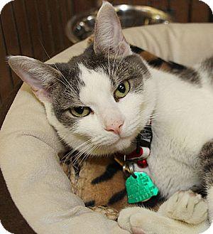 Domestic Shorthair Cat for adoption in Port Washington, New York - Lizzie
