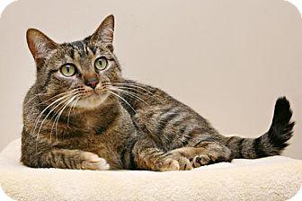 Domestic Shorthair Cat for adoption in Bellingham, Washington - Sarafina