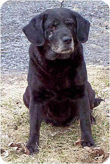 Beagle/Labrador Retriever Mix Dog for adoption in Kirkland, Quebec - Hope