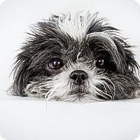 Adopt A Pet :: Zoe - New York, NY
