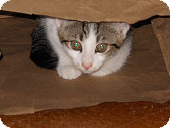 Domestic Shorthair Kitten for adoption in Cincinnati, Ohio - May