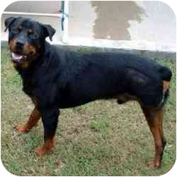 Rottweiler/Hound (Unknown Type) Mix Dog for adoption in Dripping Springs, Texas - Ty