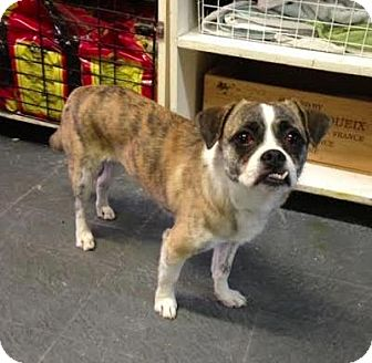 Beagle/Chihuahua Mix Dog for adoption in Manhattan, New York - Cashmere