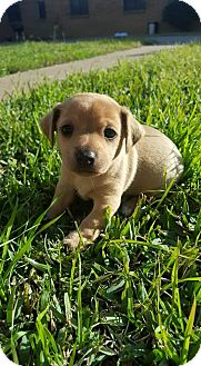 Chihuahua Mix Puppy for adoption in Wichita Falls, Texas - Forte