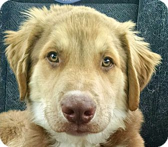 Australian Shepherd/Alaskan Malamute Mix Puppy for adoption in Oakley, California - Baby Buckie