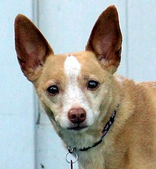 Terrier (Unknown Type, Medium)/Chihuahua Mix Dog for adoption in Antioch, California - Lexy