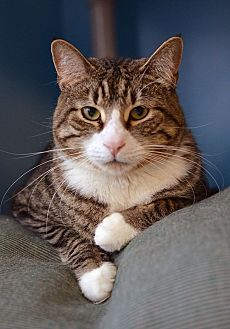 Domestic Shorthair Cat for adoption in Beacon, New York - Toby