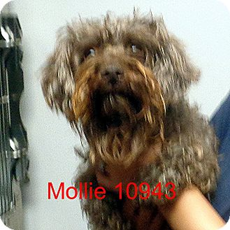 Cockapoo Mix Dog for adoption in Greencastle, North Carolina - Molly