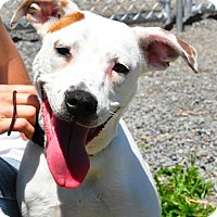 Treeing Walker Coonhound/Jack Russell Terrier Mix Dog for adoption in Colonial Heights, Virginia - Molly