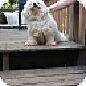 Poodle (Miniature)/Bichon Frise Mix Dog for adoption in Syacuse, New York - Ivory