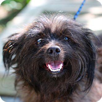 Shih Tzu Mix Dog for adoption in Edwardsville, Illinois - Kyle
