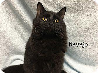 Domestic Mediumhair Cat for adoption in Foothill Ranch, California - Navajo