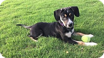 Labrador Retriever/Beagle Mix Puppy for adoption in Chicago, Illinois - Piper