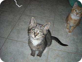 Domestic Shorthair Kitten for adoption in Riverside, Rhode Island - Luke