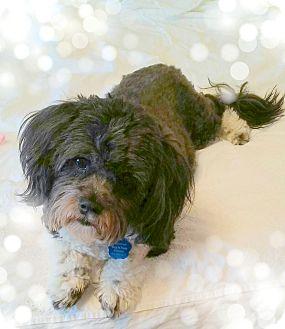 Havanese/Shih Tzu Mix Dog for adoption in Omaha, Nebraska - Evie