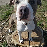Shar Pei/American Pit Bull Terrier Mix Dog for adoption in Wichita, Kansas - Venus