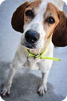 Foxhound/Treeing Walker Coonhound Mix Dog for adoption in Prince George, Virginia - Stella