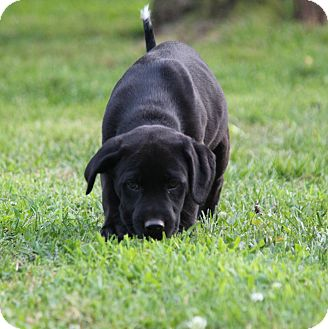 Labrador Retriever Mix Puppy for adoption in Yadkinville, North Carolina - Black Jack