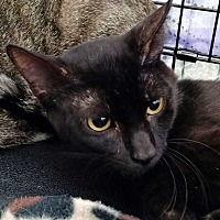 Adopt A Pet :: Cordite Rinz - Dallas, TX