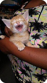 Domestic Shorthair Kitten for adoption in Raleigh, North Carolina - Honey
