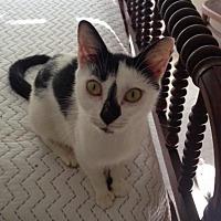 Adopt A Pet :: Annabelle III - Fairfax Station, VA