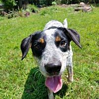 Adopt A Pet :: Puppy - Garden City, NY