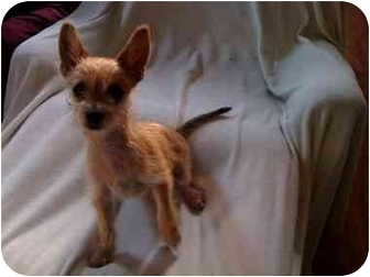 Terrier (Unknown Type, Small)/Chihuahua Mix Puppy for adoption in Tracy, California - Pluto