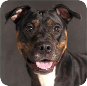 Rottweiler Mix Dog for adoption in Chicago, Illinois - Bella