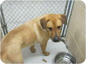 Labrador Retriever Mix Dog for adoption in Bowie, Texas - Jacob