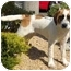 Photo 2 - St. Bernard Mix Puppy for adoption in Palmdale, California - Chloe