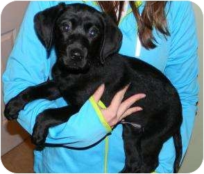 Labrador Retriever Puppy for adoption in Lincolnton, North Carolina - Jasmine