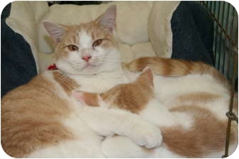 Domestic Shorthair Cat for adoption in Richmond, Virginia - Max