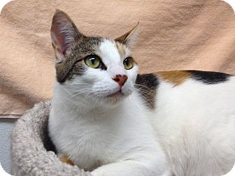 Calico Cat for adoption in Foothill Ranch, California - Nanee