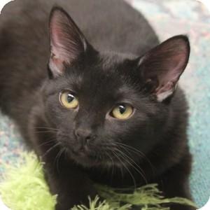 Domestic Shorthair Kitten for adoption in Naperville, Illinois - Hekarim