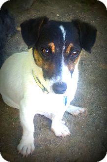 Jack Russell Terrier Dog for adoption in Wappingers, New York - Junior