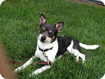 Chihuahua Mix Dog for adoption in New Oxford, Pennsylvania - Roscoe