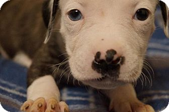 Boxer/Staffordshire Bull Terrier Mix Puppy for adoption in Hilliard, Ohio - Bang