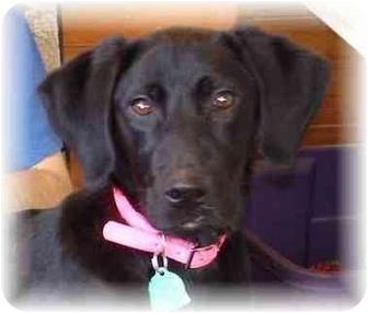 Labrador Retriever/Coonhound Mix Puppy for adoption in Wyoming, Minnesota - Daisie Mae
